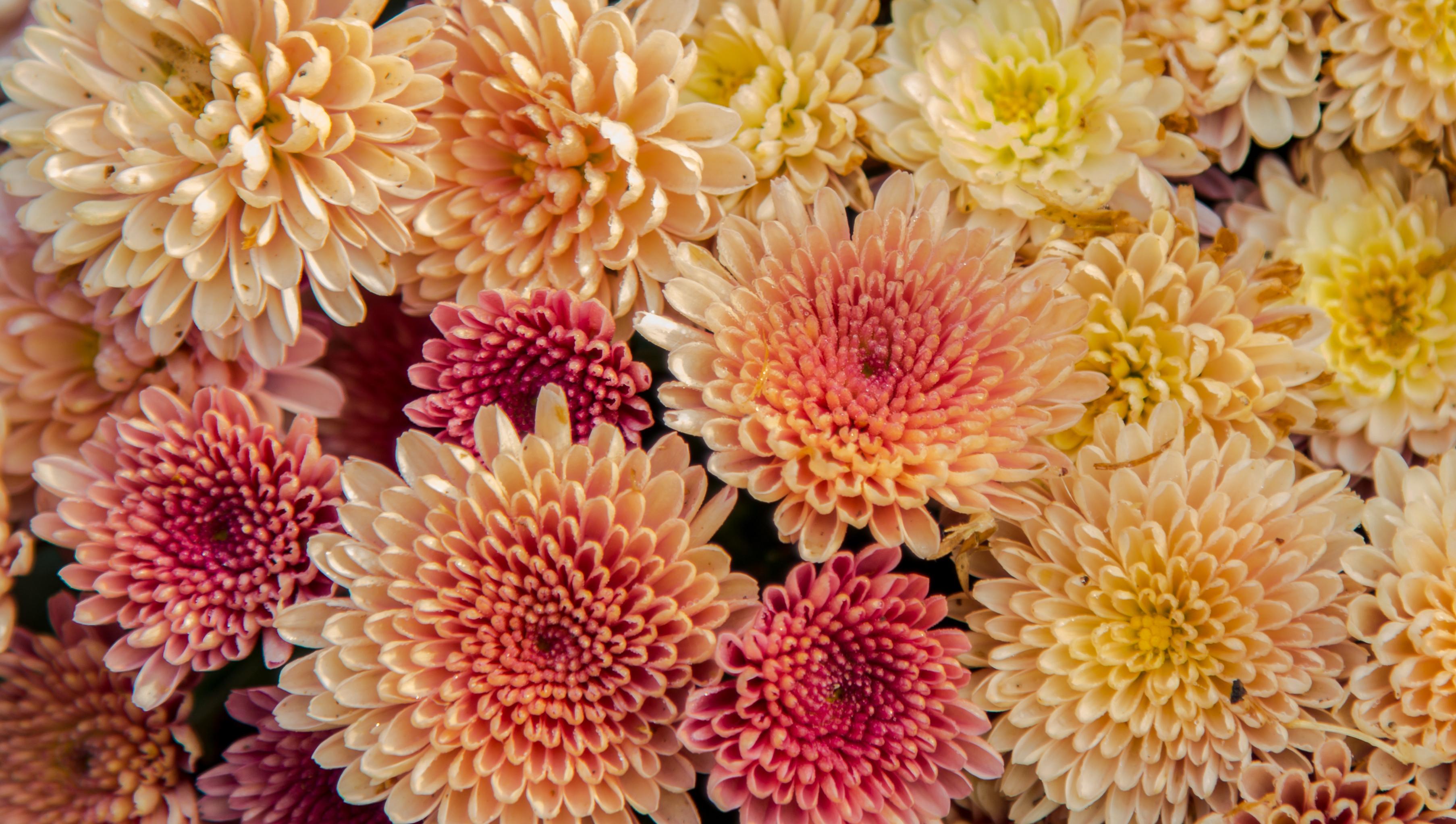 Fall Wedding Flowers   Chrysanthemum Wedding Bouquet