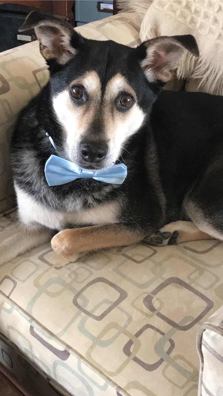 The newlywed's dog, Striker wearing a bow tie.